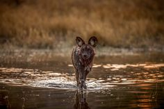 An adult wild dog returns to the pack after a successful hunt through the shallow waters of the Okavango in Botswana at Chitabe camp African Wild Dog, Okavango Delta, Wild Dogs, Shallow, Fine Art Paper, Fine Art Prints, Wildlife, Canvas Art, Awesome