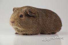 Lillyfoot Meerschweinchen Schoko-Buff-Agouti