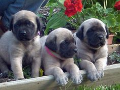 Mastiffs American Bandogge Mastiffs Shadow Back 62 Of 75 Next. The American Masti Bull See Origin Below For More Details. American Mastiff P. American Mastiff, American Bandogge Mastiff, Top Dog Breeds, Unique Dog Breeds, Rare Dog Breeds, Big Dogs, I Love Dogs, Cute Dogs, Dogs And Puppies
