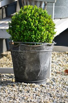 Boxwood in a bucket.