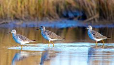 Lesser yellowlegs assemble on a mud flat at high tide near the Savannah River, in Jasper County, SC. For more wildlife photography and other pictures, see http://www.thatsbug2u.com/#!photography/c1ub1.
