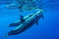Photograph by @paulnicklen // One of the best things about shooting the Hawaii story for @natgeo was the near constant immersion in this beautiful sea.  The ocean was full of surprises like being approached by this small pod of spinner dolphins. Please follow me on @paulnicklen as I post my favorite stories from this incredible photographic journey.  For @sea_legacy with @cristinamittermeier.  #journey #dolphin #smile #love #beauty by natgeo