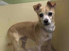 TO BE DESTROYED - THURSDAY - 4/17/14 Manhattan Center   CHARLIE - A0996590  I am an unaltered male, tan Chihuahua - Smooth Coated.  The shelter staff think I am about 10 years old. I weigh 12 pounds. I was found in NY 10461. I have been at the shelter since Apr 13, 2014.  https://www.facebook.com/photo.php?fbid=786989104647304&set=a.617942388218644.1073741870.152876678058553&type=3&theater
