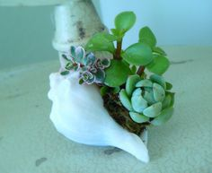 Sea Shell Planter with Mini Succulents Succulent by BellasJardin, $5.00