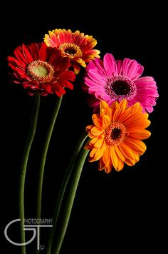 Red gerbera daisy on side from waist to armpit. Happy Flowers, My Flower, Pretty Flowers, Sunflowers And Daisies, Gerber Daisies, Margaritas Gerbera, Daisy Love, Flower Pictures, Flower Wallpaper