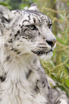 snow leopard ... Gorgeous