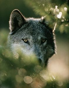 A gray wolf peers from behind a bush.