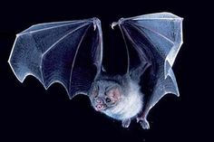 This is the kind of bat I saw when I was young that turned into a vampire. No wonder I am scared of this type of bats! Creatures Of The Night, Cute Creatures, Vampires, Bat Images, Animals And Pets, Cute Animals, Cartoon Bat, Scary Vampire, Angels