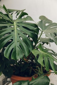 A mature Monstera (cheeseplant) at Clapton Tram.