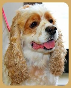Meet Elway a Petfinder adoptable Cocker Spaniel Dog | Austin, TX | This handsome guy is Elway. He would like a home where his people are home most of the time to keep...