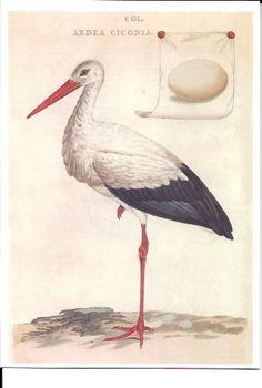 Ooievaar uit Nederlandsche Vogelen van C. Nozerman en C. Sepp (1770 - 1829)