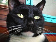 Jet the tuxedo cat