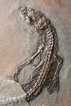 Lagarto encontrado en el Messel Pit en Alemania