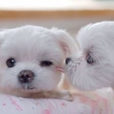 Maltese kisses...so sweet #maltese kisses...so sweet!