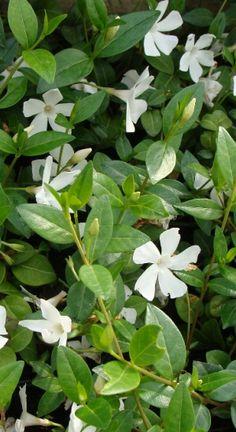VINCA MINOR 'ALBA'-maagdenpalm: bloeitijd: maart-april, 15-20 cm, zon-schaduw groenblijvende bodembedekker. In het voorjaar horizontale scheuten snoeien om woekering te voorkomen.