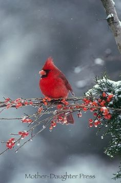 Male northern cardinal bird in winter snow storm on branch of red berries True Beauty by DeeDeeBean