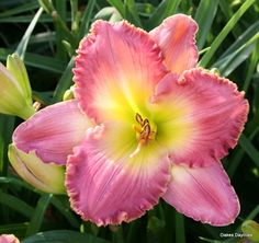 'CHANCE ENCOUNTER' Daylily. Raspberry rose blend with gold edge. Fragrant.