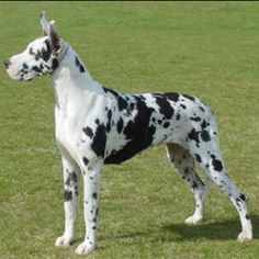 Harlequin Great Dane.