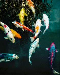 Koi fish >> love the colours. Especially the blue and pink one in the corner. Didn't know Kois could be these colours!