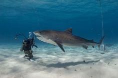 Tiger Shark and Cristian Dimitrius - Photo: JP Krajewski