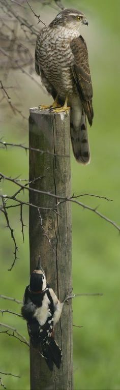 Woodpecker hides from Hawk by Robert E. Fuller