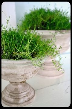 Asparegus fern filled urns...