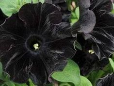 Annual Flowers, Rare Flowers, Exotic Flowers, Petunia Plant, Petunia Flower, Black Tulips, Black And White Flowers, Trees To Plant, Plant Leaves