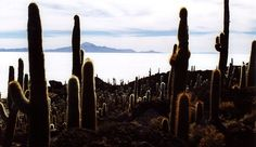 Isla del Pescadoor Isla Incahuasi,Quechua for Inca house, so-called because of a stone structure, believed to have been a rest stop for ancient traders crossing the salar. It is a lovely island covered in large cacti. There is a walking trail with superb views across the huge white expanse of salt to the mountains, including Tunupa, shimmering on the horizon. it is best to visit this area with a tour operator. Photo by Christian Mariotti.