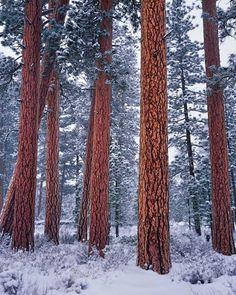 Ponderosa Pines in Central Oregon, compliments of Mike Putnam Photography, Bend Oregon.