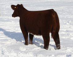 PB shorthorn heifer Show Cows, Pig Showing, Fluffy Cows, Musk Ox, Teacup Pigs, Show Cattle, Showing Livestock, Beef Cattle, Mini Pigs
