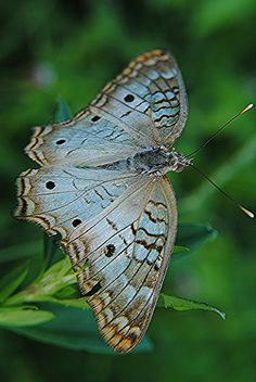 The White Peacock butterfly, It can be seen all year in South Florida and flies up into central and northeastern Florida each summer.