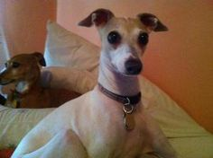 Ginger is an adoptable Italian Greyhound Dog in Cape Coral, FL. Ginger is a 5 yr old spayed female IG, turned into rescue after her owners had a baby and she did not adjust. She is sweet and loving, g...