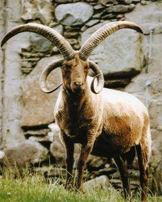Alpha Ram