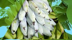 A banana is an edible fruit – botanically a berry – produced by several kinds of large herbaceous flowering plants in the genus Musa Planting Flowers, Berries, Banana, Fruit, Vegetables, Bury, Bananas, Vegetable Recipes, Fanny Pack