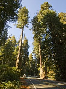 SEQUOIA SEMPERVIRENS --{ cypress family Common names include coast redwood, California redwood, and giant redwood.[3] It is an evergreen, long-lived, monoecious tree living 1200–1800 years or more.[4] This species includes the tallest trees living now on Earth, reaching up to 379 feet (115.5 m) in height (without the roots) and up to 26 feet (7.9 m) in diameter at breast height. }--