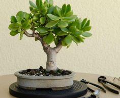 Outils indispensables pour l'entretien du bonsai