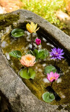 a tukubai (water basin) the Shoren-in Temple (青蓮院), Kyoto Japan Garden Garden backyard Garden design Garden ideas Garden plants Aquatic Plants, My Secret Garden, Water Lilies, Flowers In Water, Ikebana, Dream Garden, Garden Inspiration, Garden Ideas, Fence Ideas