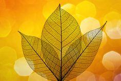 Leaf Silhouette by Antony Scott on 500px
