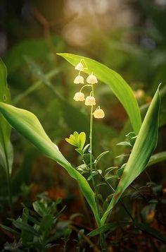 "ART In G 자료 봇 on Twitter: ""은방울 꽃 #은방울꽃 #꽃 #자료 #아트인지 #Lily #Of #The #Valley #Flower #Reference #ArtInG https://t.co/wv96hkZrr2"""