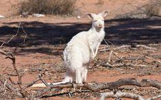 White kangaroo sightings booming as predators decrease and drought worsens - ABC News Australian Animals, Rare Animals, Predator, Kangaroos, South Wales, North West, Articles, Content
