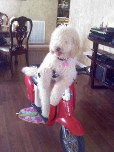 An Australian Labradoodle from gooddaydoodles.com   Makes me giggle every time I see it :)