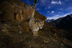 Snow Leopard (Uncia uncia) have world population size at approximately 4000 - 5000 individuals (2012) and have a weight that can exceed 70 kg (males). The species is today (2013) listed at the ICUN Red List as endangred.
