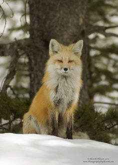 Red Fox by Henrik Nilsson - Tattoo Ideas & Diy Nature Animals, Animals And Pets, Cute Animals, Wild Animals, Lovely Creatures, Woodland Creatures, Beautiful Dogs, Animals Beautiful, Animal Symbolism
