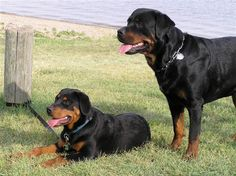 AKC lists America's most popular breeds for 2011. Labs and German Shepherds lead the pack - but how cool is it that Rottweilers made an appearance in the top 10!?