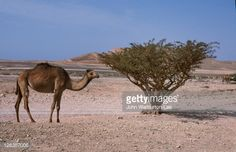 Oman, Dhofar, Salalah. A camel stands beside a Frankincense tree growing in the Adorib Valley