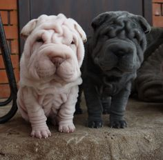 best pictures and photos ideas about adorable chinese shar pei puppies - oldest dog breeds