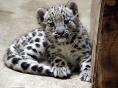 New baby snow leopard. Endangered species, born in Grand Rapids!