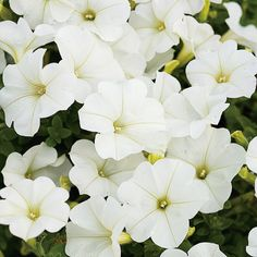 Proven Winners - Supertunia® Trailing (Formerly Mini) White - Petunia hybrid white plant details, information and resources. Container Plants, Container Gardening, Moon Garden, Night Garden, White Plants, Shade Flowers, White Gardens, Flower Planters, Landscaping Plants