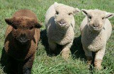 Cute lambs!