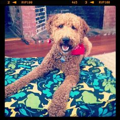 """@Maura Kirk's photo: """"Buckley is super excited about his new #mollymutt dog bed!"""""""